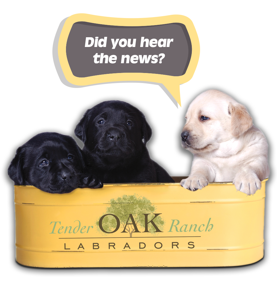 Tender Oak Ranch offering Black Labrador Puppies