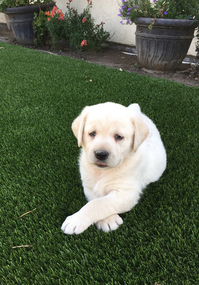 AKC Yellow Labrador Puppies