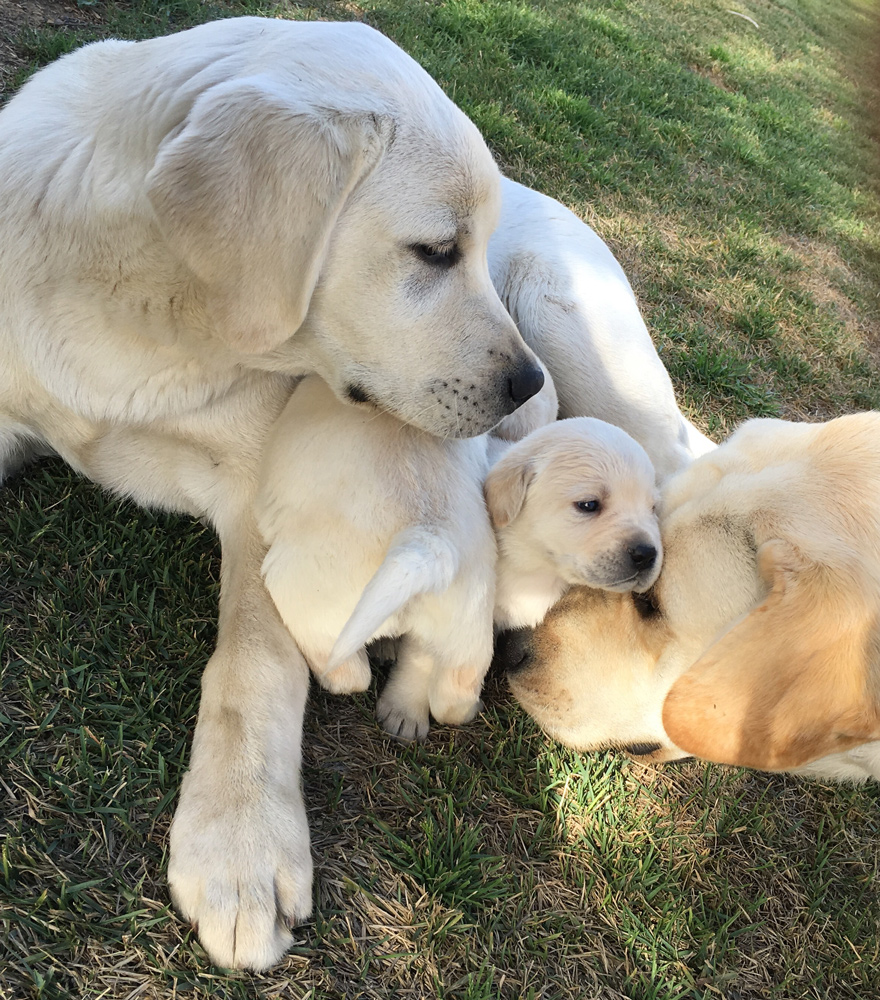 Yellow-Labrador-breeder