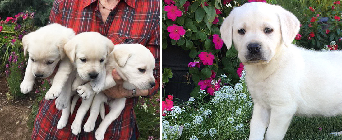 LabradorPuppies