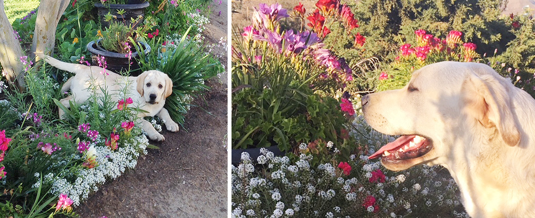 puppies_Spring_flowers