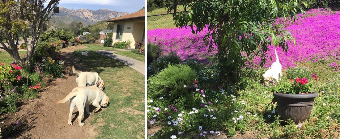 spring-flowers-labradors